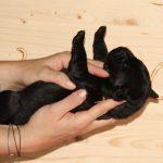 Welpe in der Neugeborenenphase wird auf den Rücken gelegt
